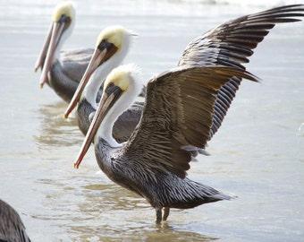 Brown Pelicans on Beach Photo ~ Bird Photography ~ Nature Print ~ Gift for Bird Lover ~ Beach Decor ~ Gray Wall Art, Pacific Coast Ocean Art