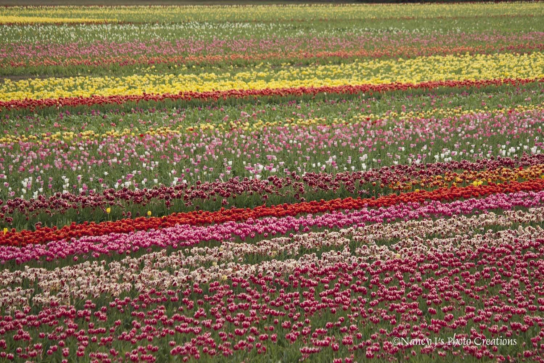 Flower Photography Tulip Field Photo Spring Decor | Etsy