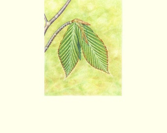 """Emerging Leaves: Beech Image size is 4"""" x 5"""" printed on 8"""" x 10"""" background Limited Edition Giclee Print (5/50)"""
