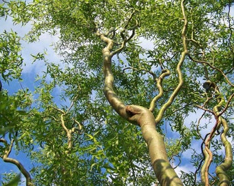 Corkscrew Willow Tree Twisted limbs, 1 yo plant sent bare root 1-2 feet tall