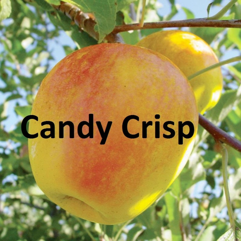 Candy Crisp Apple tree roots wrapped in wet media grafted 10-18 inches tall