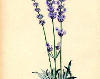 Lavender print. Botanical illustration. Lavandula poster. Vintage botanical illustration. Botanical wall art. Lavender plant print Lavandula