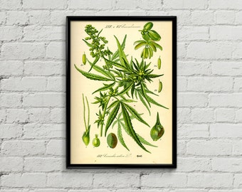 Cannabis botanical illustration. Botanical print. Hemp illustration print. Home decor. Cannabis plant poster. Cannabis print.