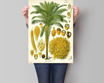 Palm botanical print. Botanical illustration. Coconut Palm poster. Vintage botanical illustration. Botanical wall art. Coconut palm.