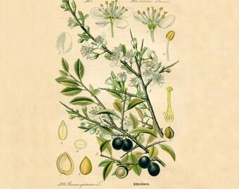 Olive botanical print Botanical poster Vintage botanical illustration Botanical wall art Olive tree