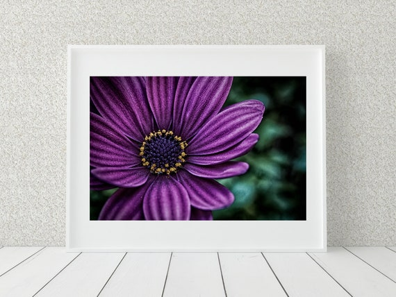 Purple Daisy Photo Print, Floral Art Print, Botanical Decor
