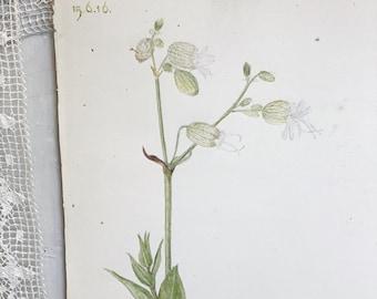 "A beautiful original botanical watercolour ""Bladder Campion"""