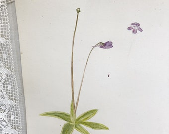 "A beautiful original botanical watercolour circa.1918 ""Butterwort"""