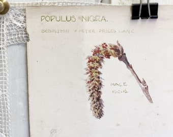 "A beautiful original botanical watercolour circa.1916 ""Black Poplar"""