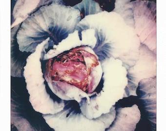Cabbage 017