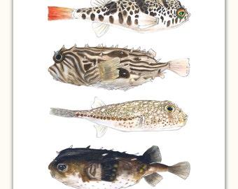 Pufferfishes: Green-eye, Coffee, Olive, Umber