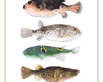 Pufferfishes: Blackish, Smoke, Green, Gold