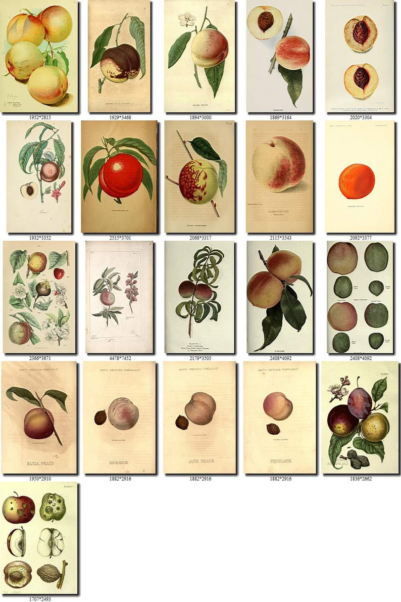 PEACH-7 Collection of 190 vintage images pictures High resolution digital download printable fruits edible amygdalus prunus persica