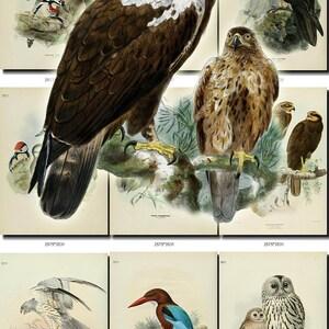 BIRDS-225 Collection of 244 vintage pictures Buteo Buzzard Bullfinch Magpie Kestrel Razorbill Stock-Dove digital download printable images