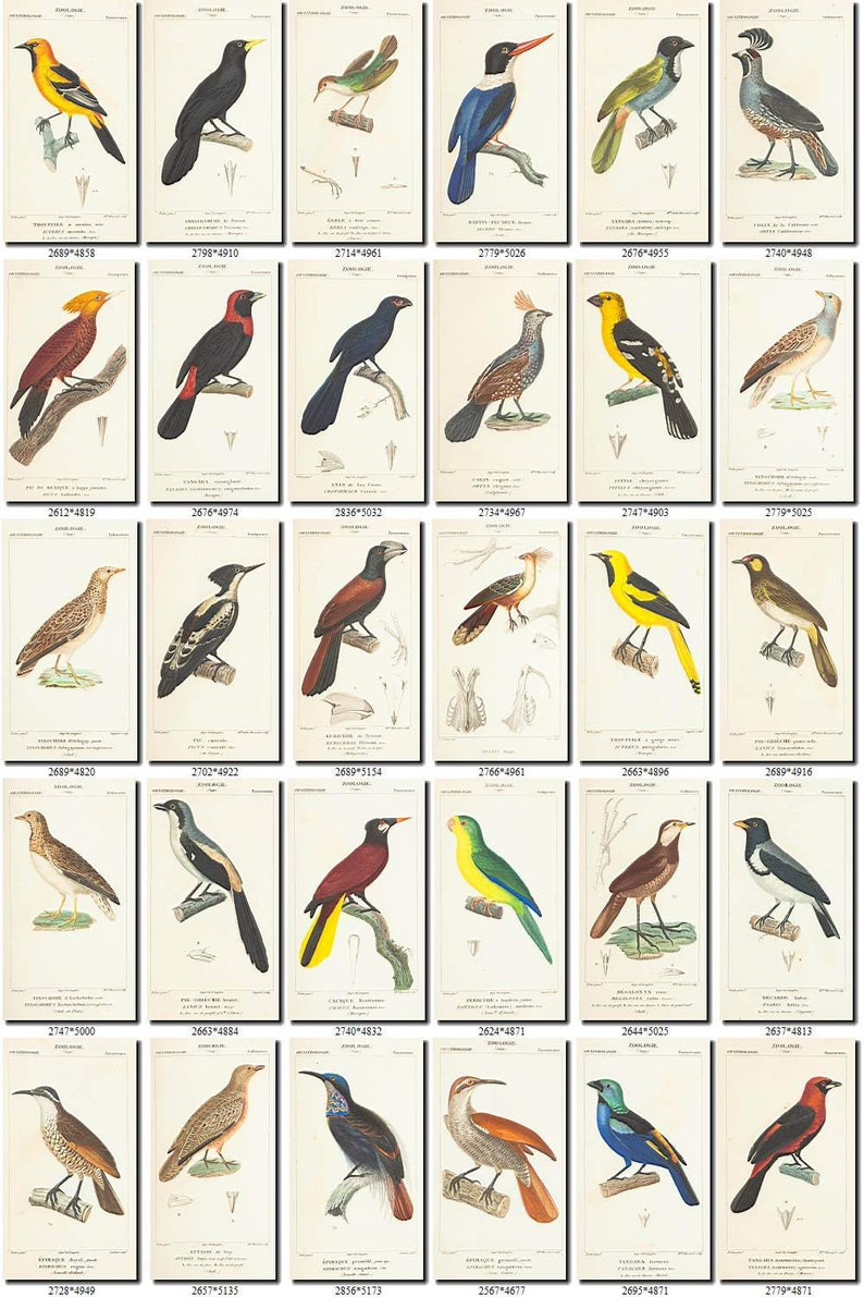 BIRDS-82 Collection of 201 vintage pictures Wallcreeper Parrots Owl Eagle  digital download printable clipart animals illustrations 300 dpi