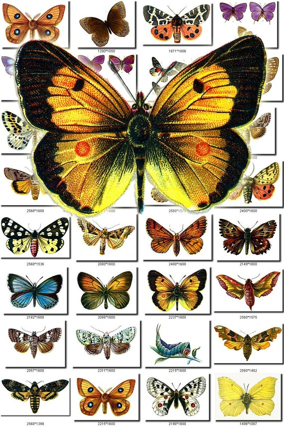 BUTTERFLIES-2 Collection of 1200 vintage illustrations pictures images High resolution 300 dpi digital download printable 1800s books scans