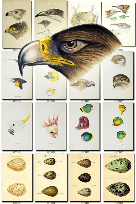 BIRDS EGGS-11 Collection of 250 vintage pictures images digital download printable clipart animals illustrations parts heads clipart Eagle