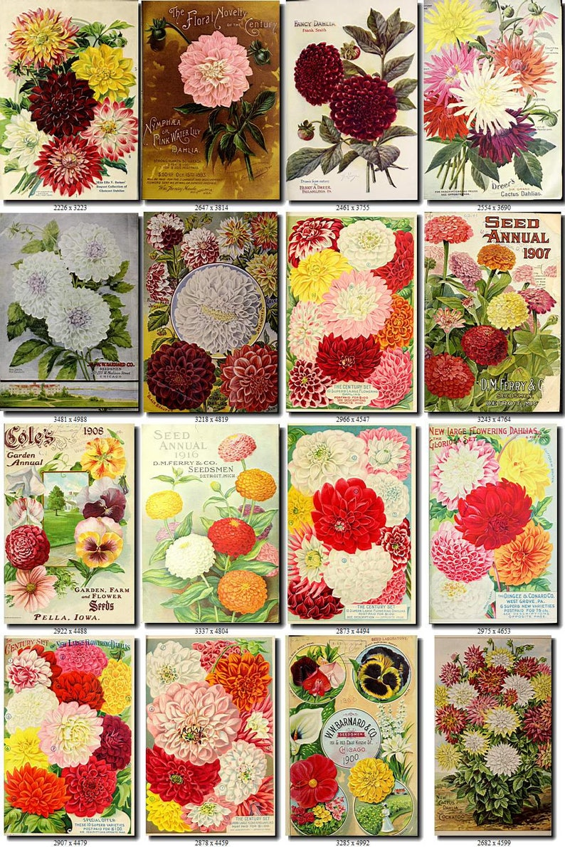 DAHLIA-1 Collection of 217 vintage images flowers Georgina tuberous herbaceous plant botanical High resolution digital download printable