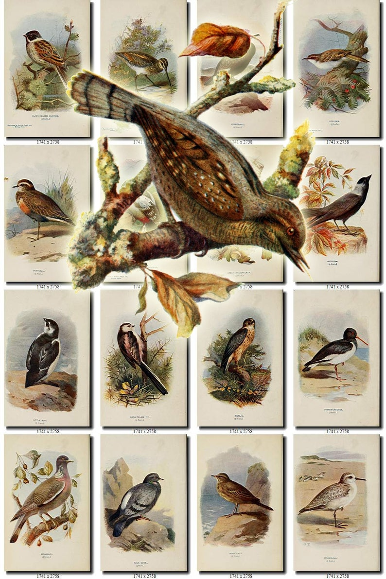 BIRDS-209 Collection of 238 vintage pictures Wryneck Bunting Snipe pictures with background digital download printable images 300 dpi animal