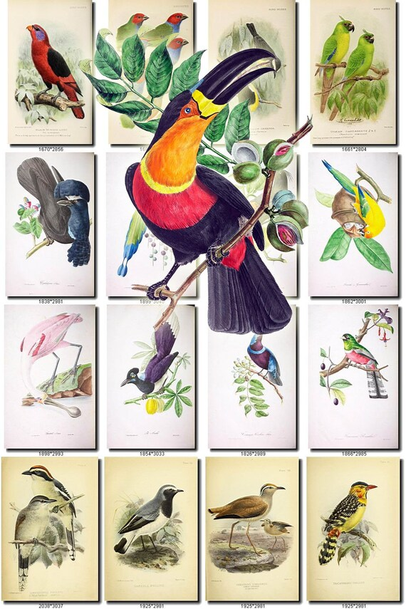 Birds 191 Collection Of 208 Vintage Pictures Lory Finch Etsy