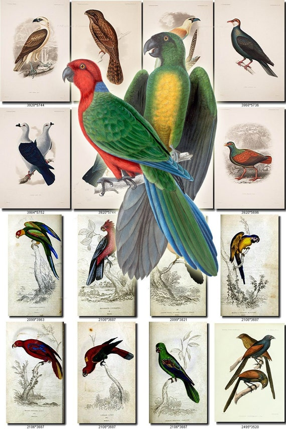 Birds 143 Collection Of 79 Vintage Pictures Parrots Ara Etsy