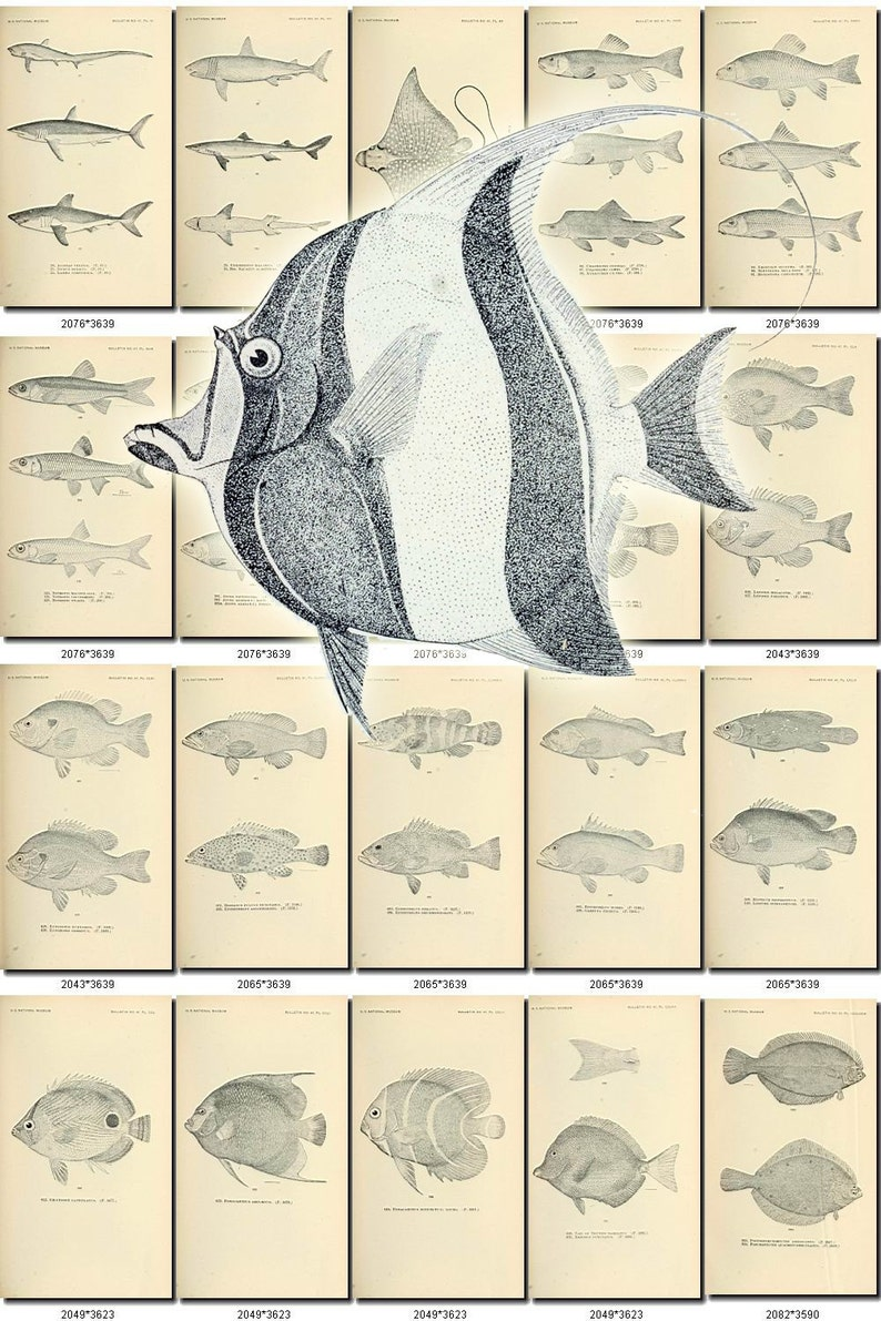 FISHES-14-bw Collection of 392 black-and-white vintage images flounder  pictures High resolution digital download printable animals pics
