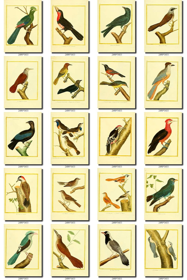BIRDS-98 Collection of 125 vintage pictures Hummingbirds African Africa Colibri Cuckoo Roller digital download printable 300 dpi animals