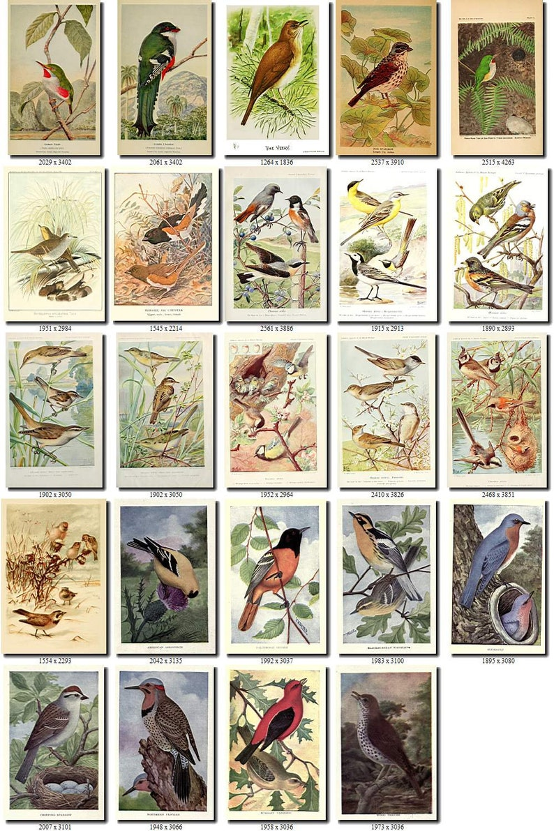 PASSERINES-1 Collection of 191 pictures vintage images High resolution digital download printable illustration small size little birds