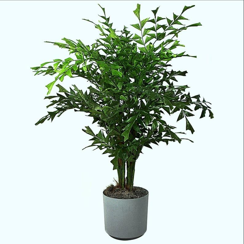 FISHTAIL PALM caryota mitis exotic rare palm tree palms ornamental seed 10 seeds