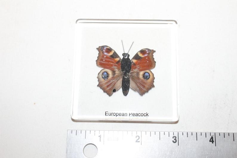 1 Butterfly specimen paper weight  601 European Peacock