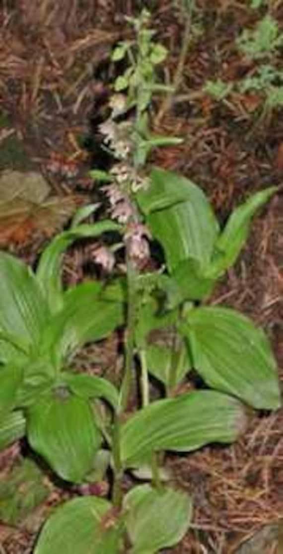 Broad Leaved Helleborine 250 seed Epipactis Helleborine