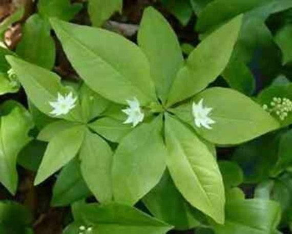 Starflower ..... 30 Seeds