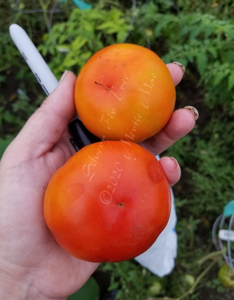 Silvery Fir Tree Tomato Seeds Made in Wisconsin Heirloom non-GMO Organically Grown USA