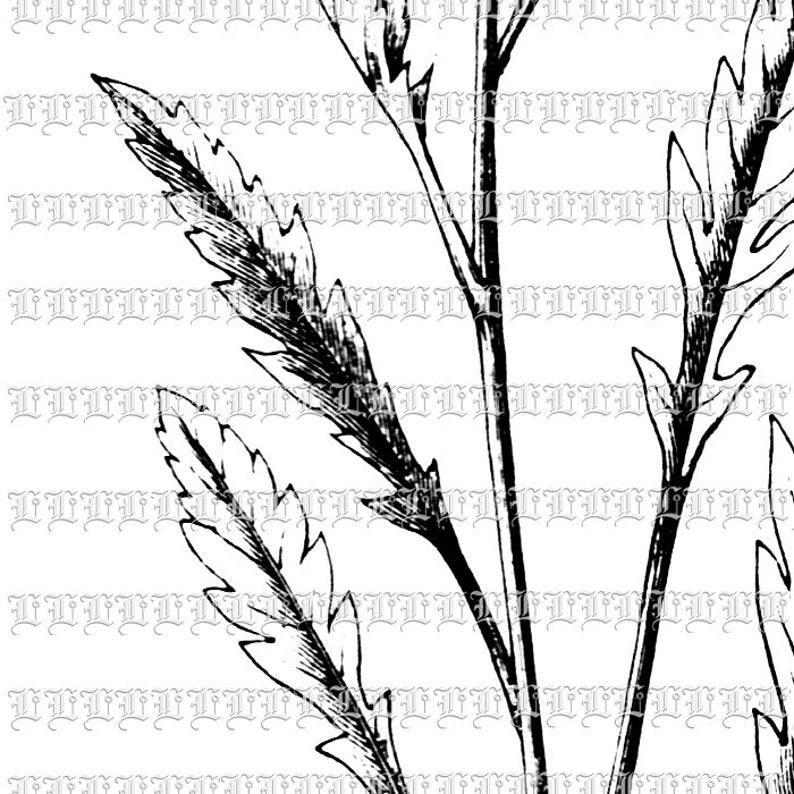 Blossomed Poppy Flower Botanical Vintage Clip Art Illustrations Printable High Quality Graphic  0421