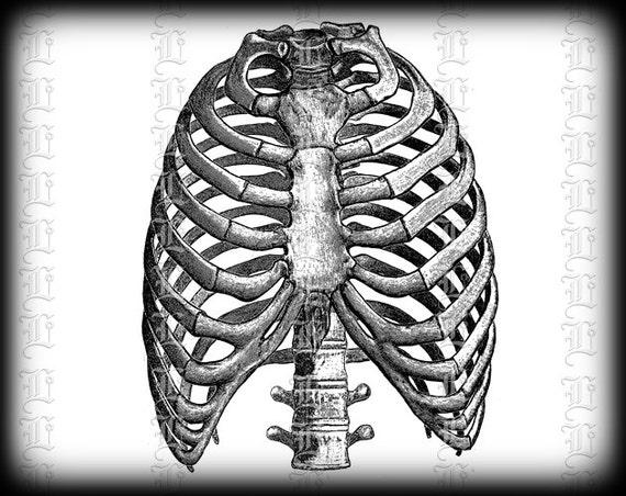 Vista frontal de la caja torácica humana anatomía médica   Etsy