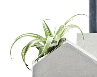 Air Plants, Brachycaulos Multiflora Tillandsia, trendy living plant decor,  concrete art add on