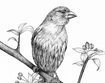 Bird Art Print From Original Drawing House Finch Pen And Ink Woodland Decor