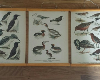 Sea bird litho 's or prints, antique, set of three