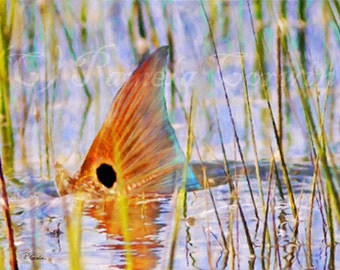 Redfish tailing on the flats: redfish tailing art, redfish painting, red drum tailing, spottail bass, redfish on canvas, redfish print, reds