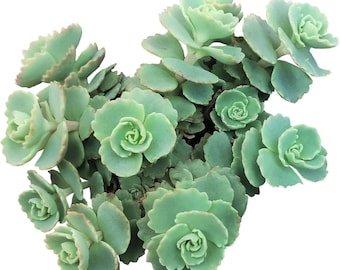 Sedum Sieboldii Stonecrop Silver Tall Succulent Ground Cover Plants Tall Green Succulents Layer Leaves Succulents Rare Succulents