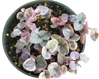 String of Hearts Plant Succulent VARIEGATED Ceropegia Woodii 4'' Pink Exotic Succulent Wholesale Succulent Rare String of Hearts Plant