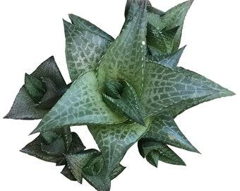 Haworthia venosa subsp. tessellata Aloe parva tessellata Catevala tessellata Haworthia coriacea engleri minutissima parva