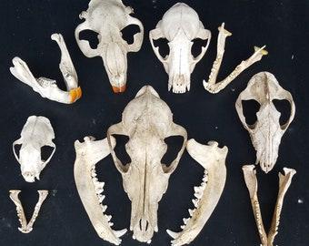 Opossum  Scapula Pelvic AtlasAnimal BonesReal BoneTaxidermySkeleton BonesCraft Bones