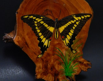 """1987 7 1/2"""" x 8 1/2"""" Wood Varnished Wall Plaque Swallowtail Butterfly"""