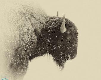 Buffalo Bison Snow Sepia 8 X 10 Photograph