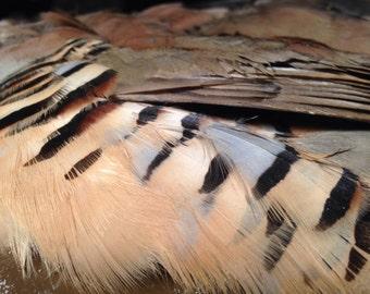 Wild Chukar Partridge -- Skin -- Pelt -- Hide -- Free Shipping