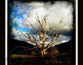 annies tree 2  8x8 limited edition Glicee print