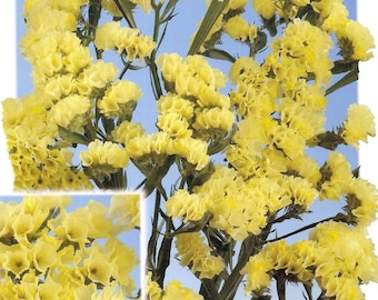 Yellow statice etsy statice seeds fortress yellow limonium sinuatum great for cut flowers superb fresh or dried mightylinksfo