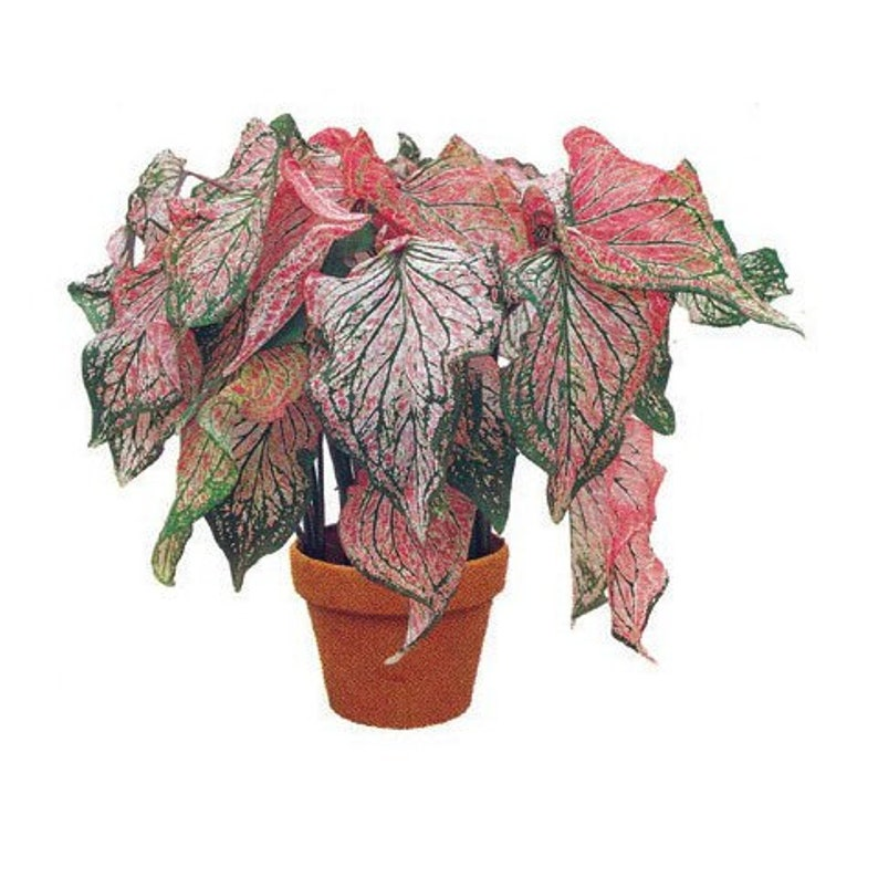 This variety really pops in the shade Bulbs Caladiums Pink Symphony