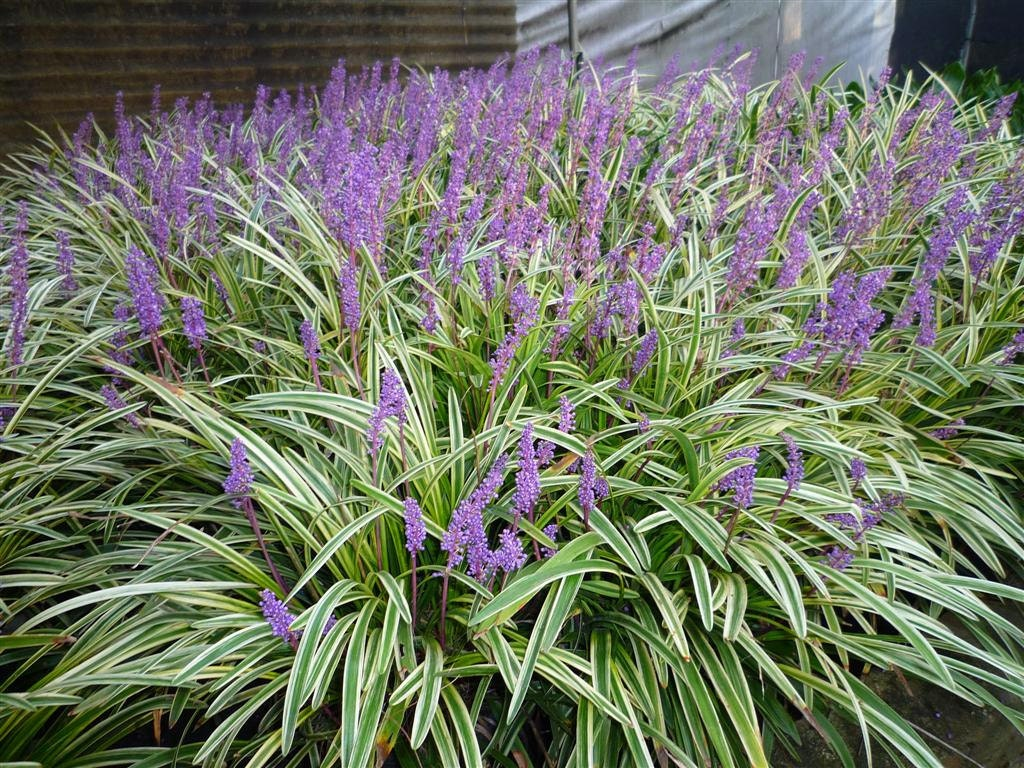 Monkey Grass Seed Liriope Muscari Ornamental Grass Seeds Etsy